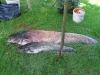 David Beránek, 20.8.2011, Sumec velký, 97 cm, 6 kg, Lužnice 3, bojka